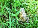 Black Rock-Frog