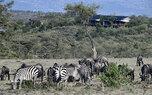 Eagle View-zebras