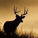 deer_wildlife