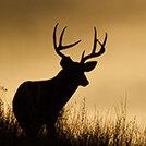 deer_wildlife
